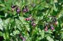 Pulmonaria officinalis (Pulmonaire)