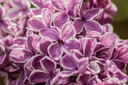 Syringa vulgaris (Lilas sp Sensation)